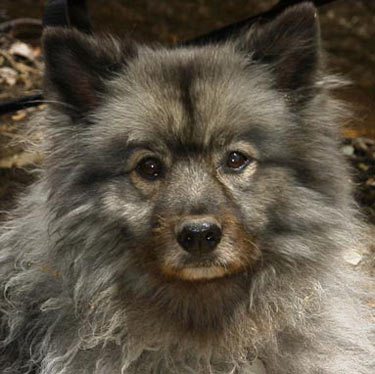Keeshond And Cats Rescue Centers ...
